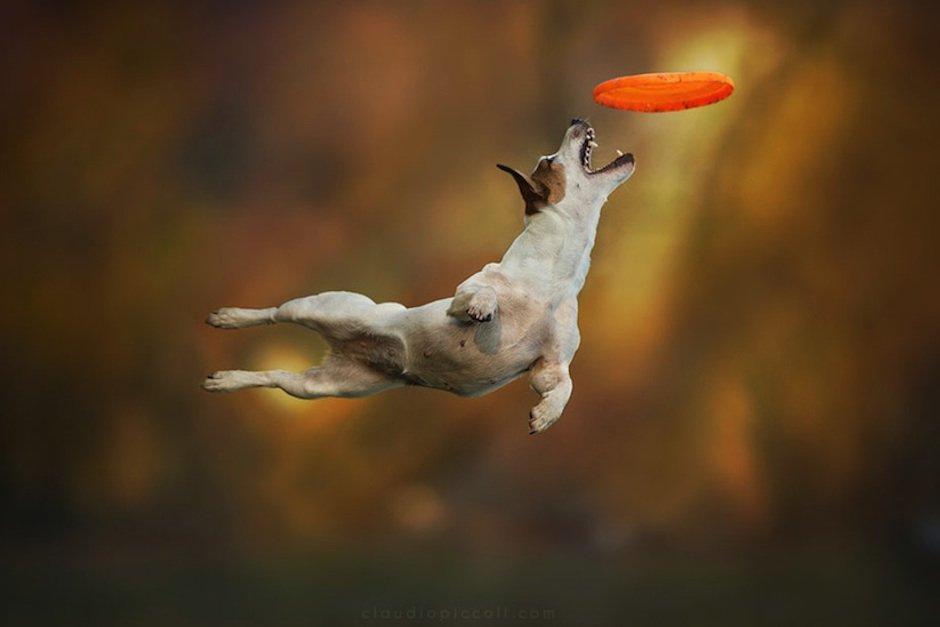Dogs Can Fly Claudio Piccoli Terrier Frisbee Fotografie Freeze Sport Hund Springt Sprung Wald Herbst