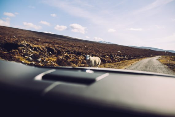 Roadtrip Sheep
