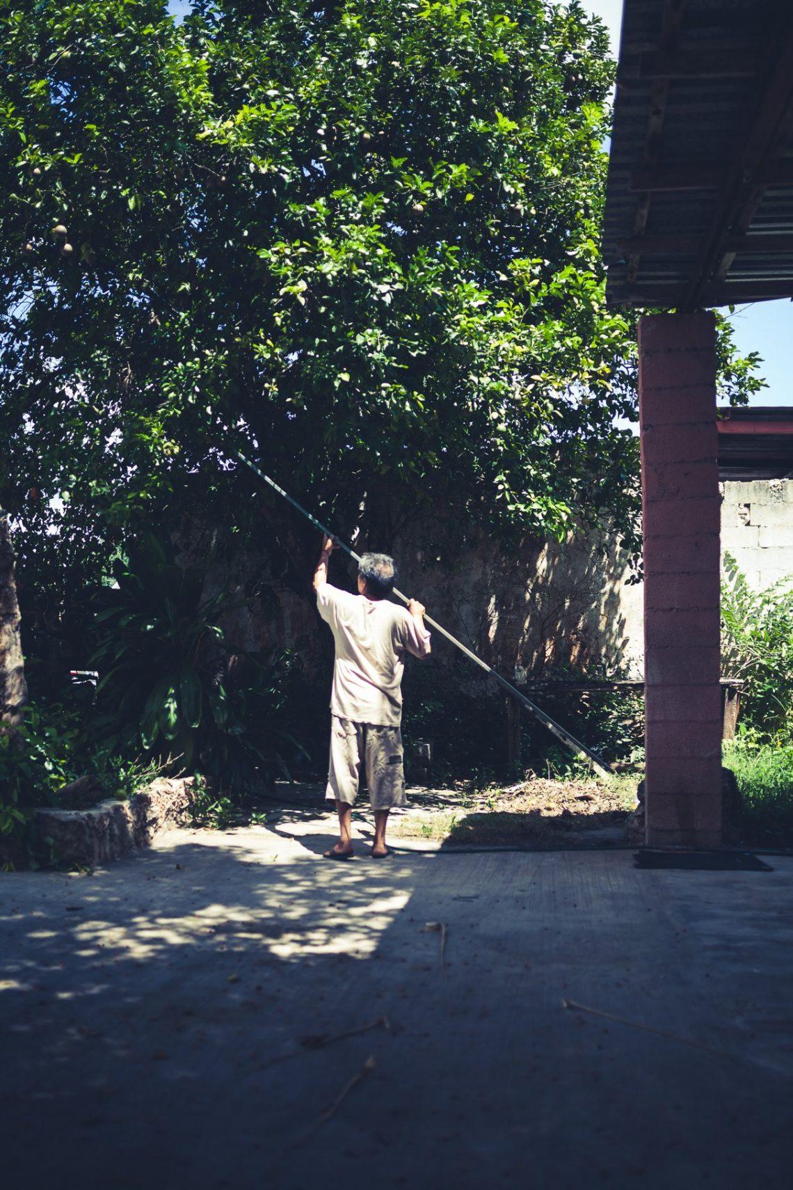 Mexikaner pflückt Limetten von Baum