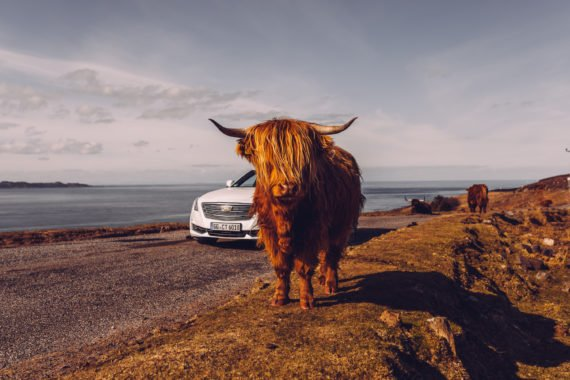 Highland Cattle Kuh Applecross Pass Cadillac CT6